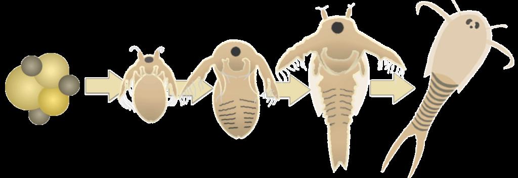 Triops Nauplien, Triops züchten