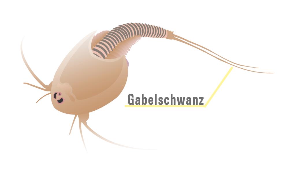 Triops_Anatomie_Gabelschwanz